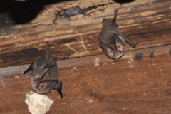 Rafinesque's Big-eared Bats