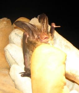 Rafinesque's big-eared bat Photo: Kathy Shelton